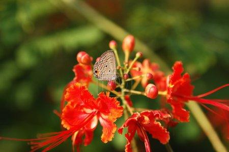 Photo pour Papillon sur fleur rouge en Malaisie - image libre de droit