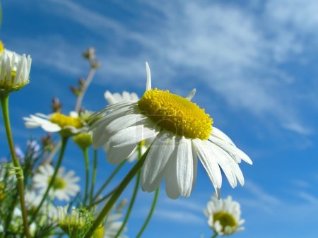 Ox-eye daisy and sky