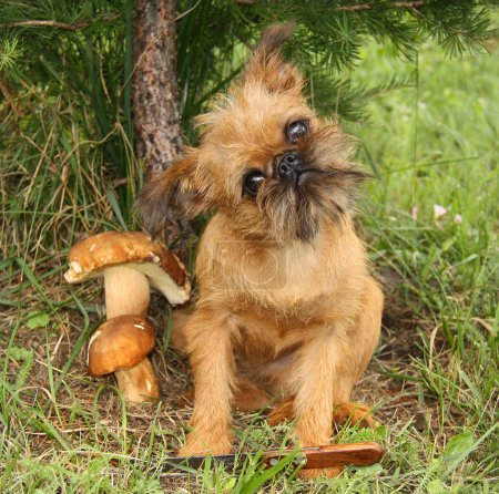 Photo for Obedient dogs are mushrooming. - Royalty Free Image