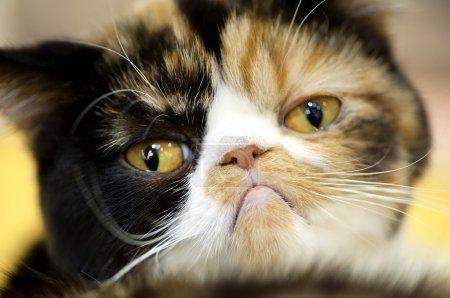 Grumpy facial expression Exotic tortoiseshell cat ...