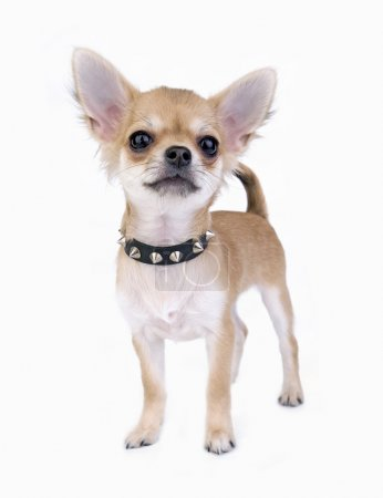 Small self-confident Chihuahua puppy portrait with black leather studded collar