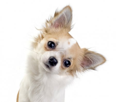 Chihuahua dog tilting head