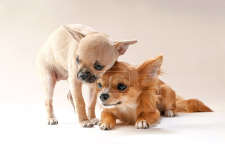 Adorable chihuahua puppies cuddling each other