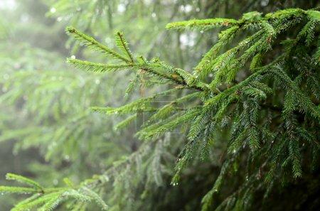 Photo pour Gros plan de la Pine tree - image libre de droit