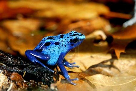 Colorful blue frog Dendrobates tinctorius