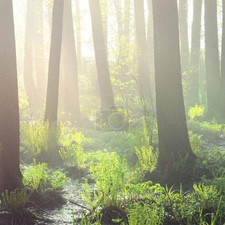 Photo pour Marais dans le brouillard au lever du soleil - image libre de droit