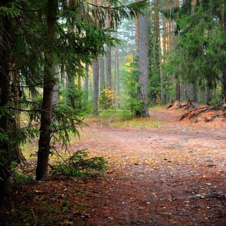 Pine forest scene