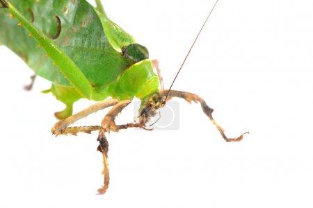 Photo pour Fenestrate de katydid géant vert Ancylecha isolé - image libre de droit