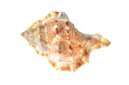 sea mollusc colorfull shell isolated