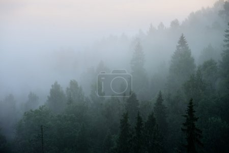 Forest in Sugulda covered in strong for...