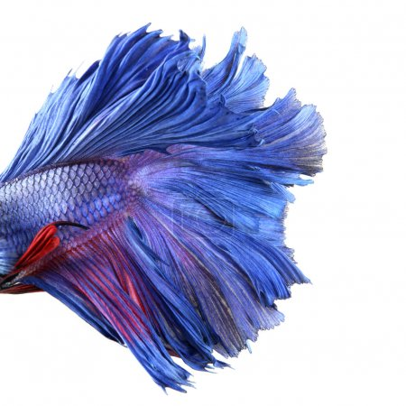 Close-up on a fish body, blue Siamese fighting fish - Betta Sple