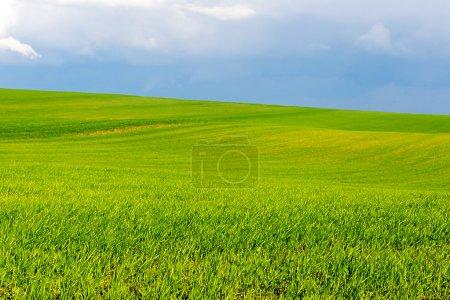 Green wheat field on blue sky background