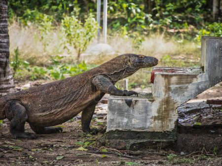 Wild Komodo Dragon Going Up a Stairway into a Local Home