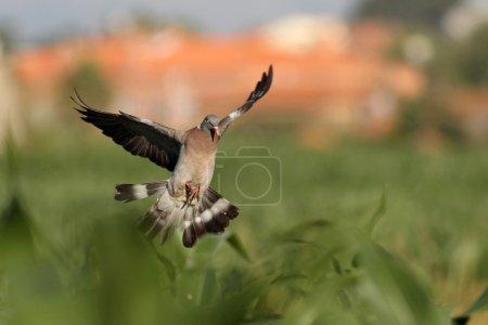 Photo pour Beau et coloré pigeon de bois sauvage européen en vol, atterrir dans un champ de maïs vert - image libre de droit