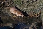 Douro River Rats