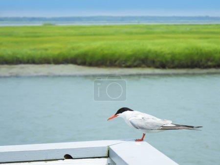 Dwarfish tern near the river, Harbor Bay, New Jersey, USA