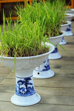 Green plants in white pots ancient Korea.