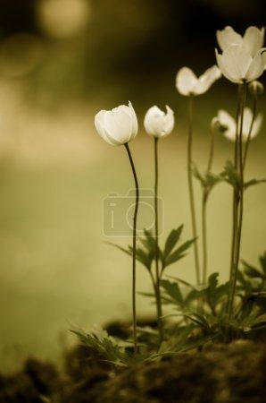 Photo pour Sépia fleur blanche filtrée effet - image libre de droit
