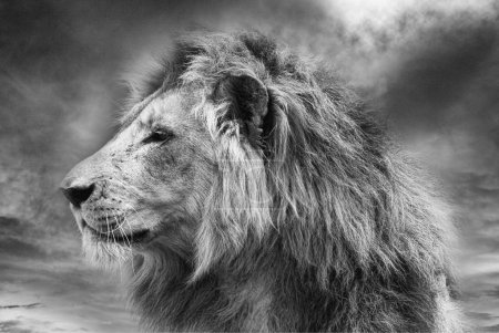 Close up of wild male african lion...