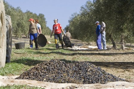Farmers unload olives in a heap on the floor