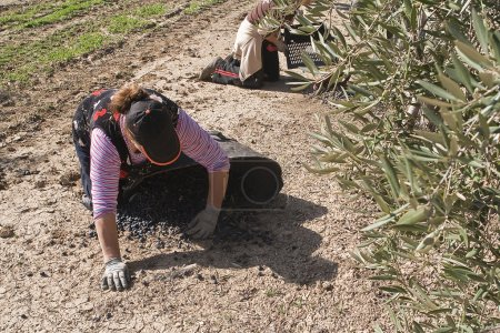 Two farmers unload olives in a heap on the floor