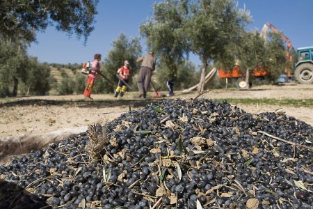 Lot of olives on a canvas and farmers gathering in a field of olive trees