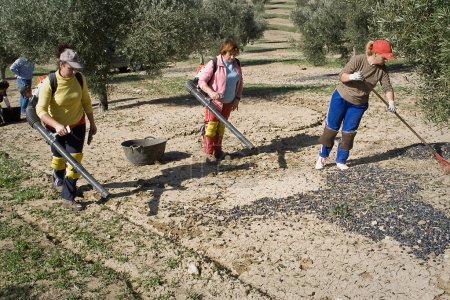 Farmers with a blowing machine in a field of olive trees