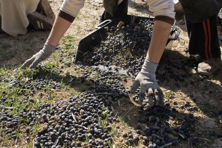 Farmer unload olives in a heap on the floor