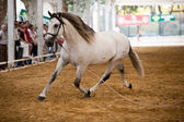 Equestrian test of morphology to pure Spanish horses