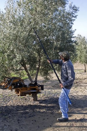Farmer gathering olives in an olive tree near jaen