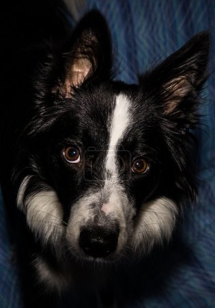 Border collie dramatic