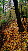 Fallen autumn leaves in the forest.