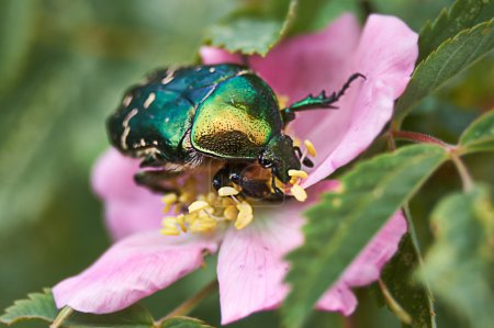 Golden beetle chafer on a flower of wild rose....