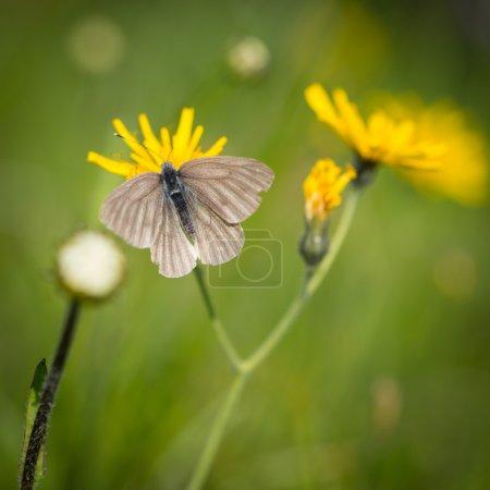Butterfly sitting on groundsel flower