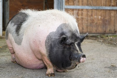 Fat pink and black pot-bellied pig standing in fro...