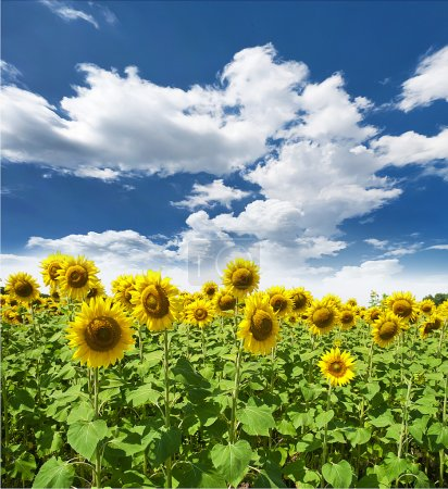 Photo for Sunflower field - Royalty Free Image