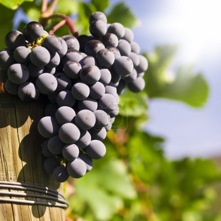 Photo for Several bunches of ripe grapes on the vine (selective focus) - Royalty Free Image