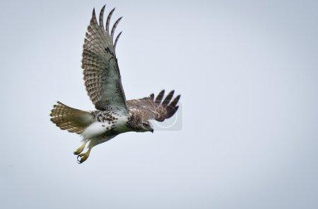 Red-Tailed Hawk In Flight...