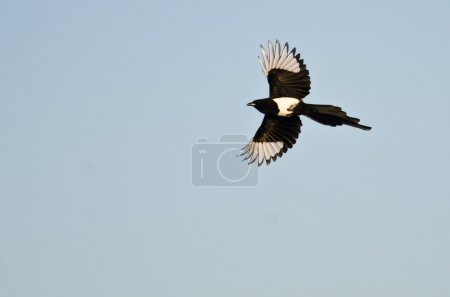 Black-Billed Magpie Flying in a Blue Sky...