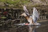 ženské kachna přistání v rybníku