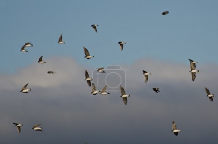 Flock of Tree Swallows Flying in Cloudy Sky...