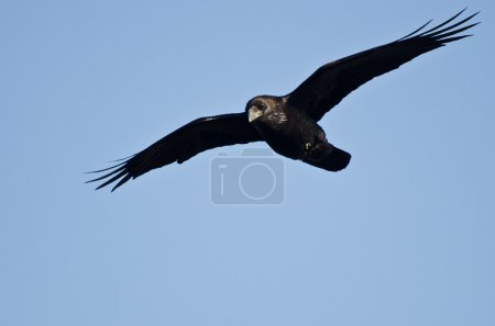 Common Raven Flying in a Blue Sky...