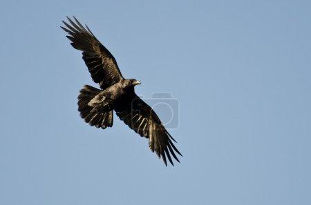Common Raven Flying in Blue Sky...