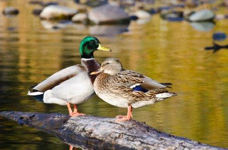 Pair of Mallard Ducks Resting in an Autumn Pond...
