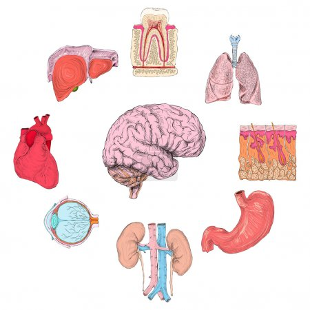 Illustration for Human organs set of lungs heart brain kidney hand drawn isolated vector illustration - Royalty Free Image