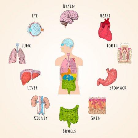 Illustration pour Concept d'anatomie humaine avec silhouette corporelle et icônes d'organes illustration vectorielle isolée - image libre de droit