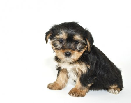 Morkie puppy that looks like he is sorry or sad ab...