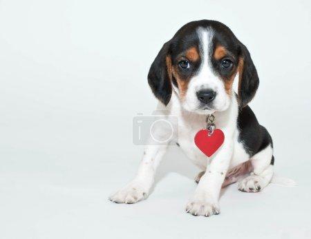 Sweet Beagle Puppy