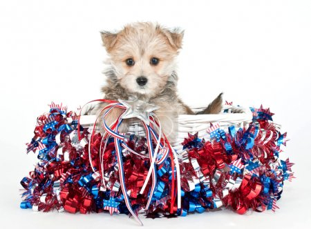 Photo pour Petit chiot morkie, assis dans un panier avec des étoiles rouges, blancs et bleus et bandes tout autour de lui. - image libre de droit