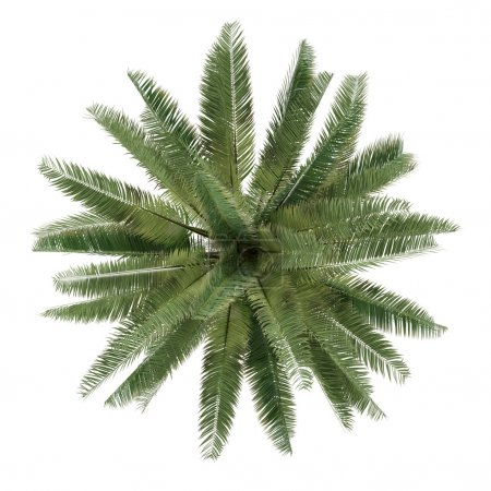 Photo for Palm tree isolated. Jubaea chilensis top view - Royalty Free Image